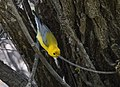 Prothonotary Warbler (34023731673).jpg