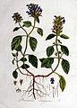 Prunella vulgaris — Flora Batava — Volume v1.jpg