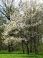 Prunus avium 01.JPG