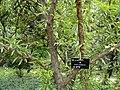 Prunus ceraifera - Kunming Botanical Garden - DSC03200.JPG
