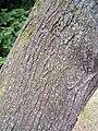 Prunus mahaleb4.jpg