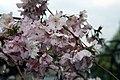 Prunus subhirtella Autumnalis 13zz.jpg