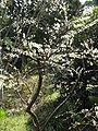 Prunus tomentosa6.jpg