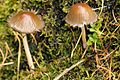 Psathyrella.corrugis.-.lindsey.jpg