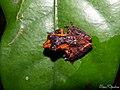 Pseudophilautus wynaadensis ( Common Bush Frog 1) (21843887610).jpg