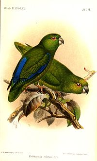 PsittaculaSclateriKeulemans