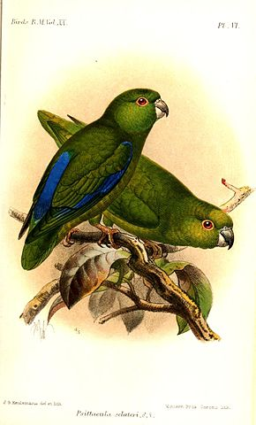 PsittaculaSclateriKeulemans.jpg