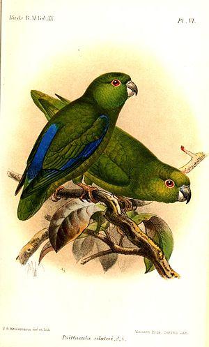 Dusky-billed parrotlet - Forpus modestus Keulemans, 1891