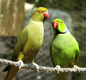 Two Rose-ringed Parakeets (also known as the R...