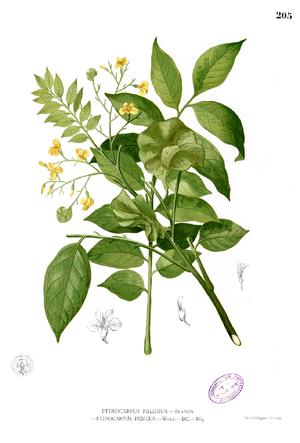 Pterocarpus indicus - Image: Pterocarpus indicus Blanco 1.205