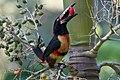 Pteroglossus torquatus -Belize-8 (1).jpg