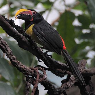 Aracari - Image: Pteroglossus viridis (male) Bronx Zoo 8 4c