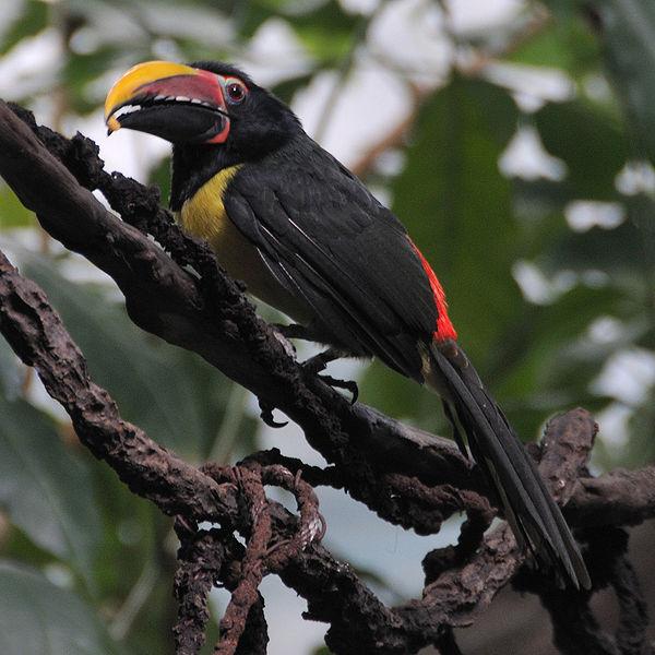 Ficheiro:Pteroglossus viridis (male) -Bronx Zoo-8-4c.jpg