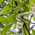 Pterostyrax psilophyllus fleurs2.jpg