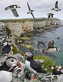 Puffin from the Crossley ID Guide Britain and Ireland.jpg