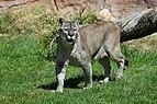Puma concolor stanleyana - Texas Park - Lanzarote -PC06.jpg