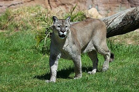 Puma concolor stanleyana