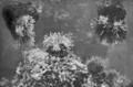 Queensland State Archives 1032 Anemones The Flowers of the Sea c 1931.png
