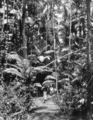 Queensland State Archives 229 Bush land between Eumundi and Noosa Heads c 1931.png