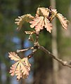 Quercus alba new leaves.jpg
