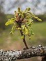 Quercus pubescens in Aveyron (8).jpg