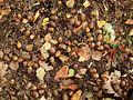 Quercus robur 05 ies.jpg