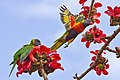 Rainbow Lorikeet with Red Silk Cotton Flowers - AndrewMercer - IMG15760.jpg