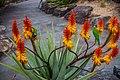Rainbow lorikeet and Aloe sp Brisbane Botanic Gardens Mt Coot-tha IMGP3975.jpg