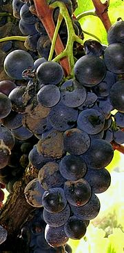 Photographie montrant des symptômes de pourriture grise sur grappe mûre de raisin noir.