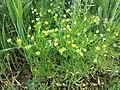 Ranunculus arvensis sl5.jpg