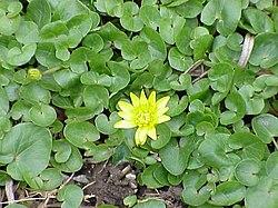 250px-Ranunculus_ficaria5
