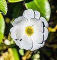 Ranunculus lyallii in Arthur's Pass NP 06.jpg