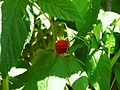 Raspberry E1.jpg