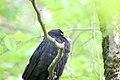 Raven Fledgling Sleeping.jpg