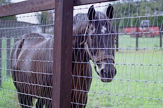 Real Shadai American-bred Thoroughbred racehorse