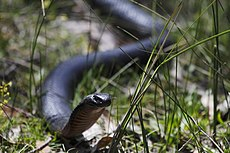 Red-bellied Black Snake (15642439791).jpg
