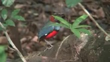 Payl:Red-bellied Pitta08.ogv