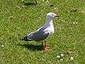 Red-billed Gull (Chroicocephalus scopulinus).jpg