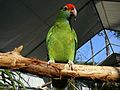 Red-browed Amazon (Amazona rhodocorytha) -zoo5.jpg