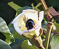 Red-legged Honeycreeper Cyanerpes cyaneus (43373319452).jpg