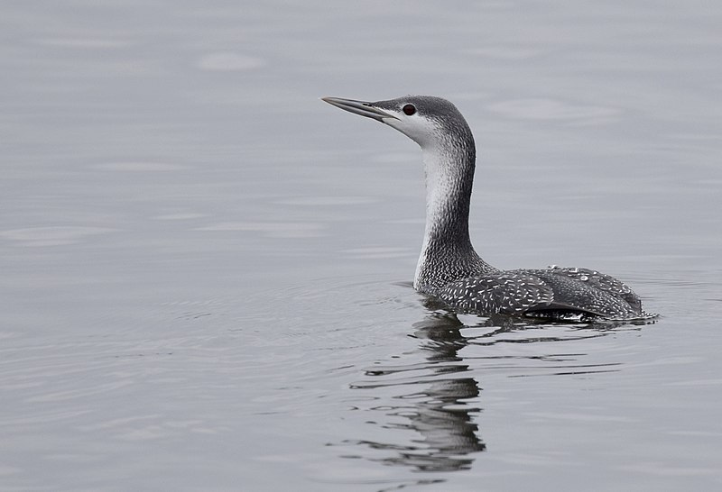 File:Red-throated Loon (30766262093).jpg