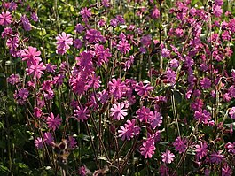 Red Campion, Haccombe - geograph.org.uk - 1301920.jpg