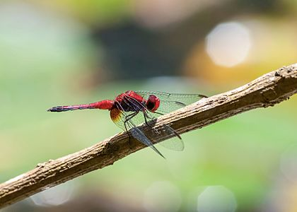 Red Dragonlets EErythrodiplax Fusca In Botanical Garden Of Sao Paulo Brazil