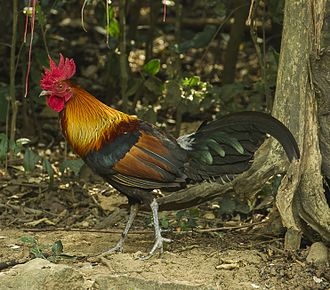 Domestication - The red junglefowl of Southeast Asia was domesticated, apparently for cockfighting, some 7,000 years ago.