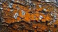 Red Moss on Sentier de la Tamarinaie near Maïdo (30713678764).jpg