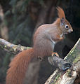 Red Squirrel 1c.jpg