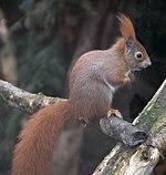 Red Squirrel 1c.jpg