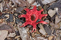 Red Starfish Fungus - Aseroe rubra (7291702040).jpg