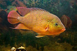<i>Mesoheros</i> genus of Actinopterygii