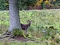 Red deer hiding (10562001904).jpg